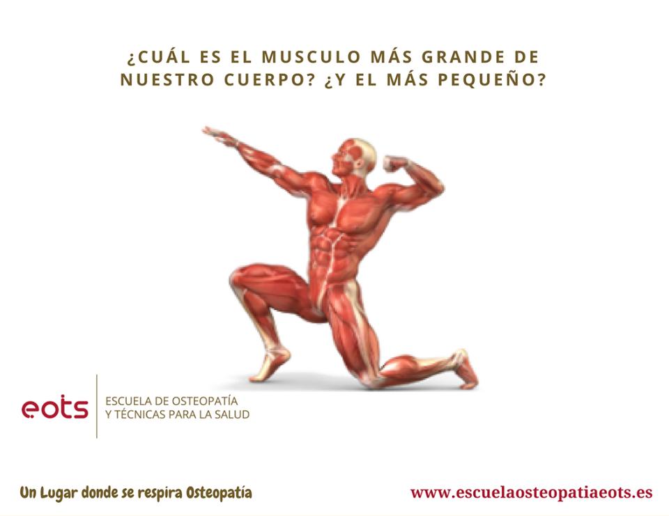 Cual es el musculo mas grande de nuestro cuerpo? ¿Y el mas pequeño ...